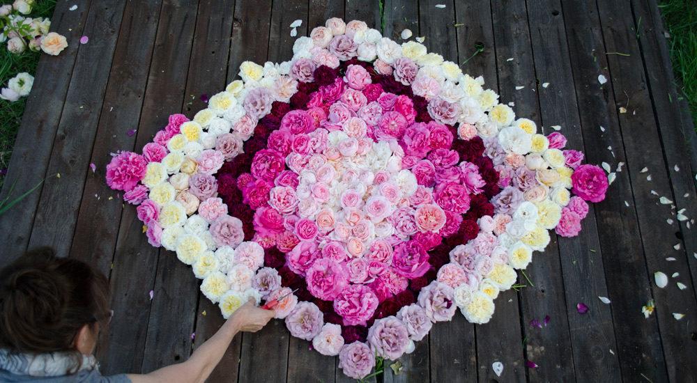 garden rose ombre