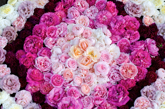flower stylist and photographer farmer florist sea of garden roses