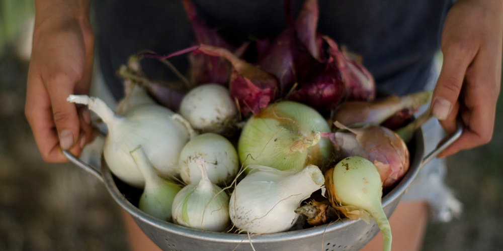 growing onions in the backyard garden