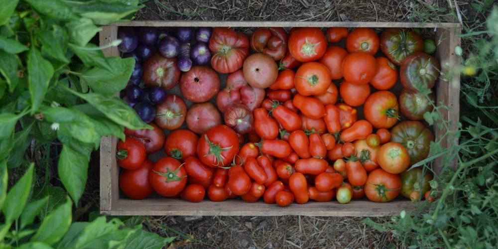rainbow ombre tomato harvest