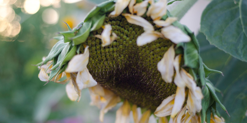 drooping sunflower head from flower farm