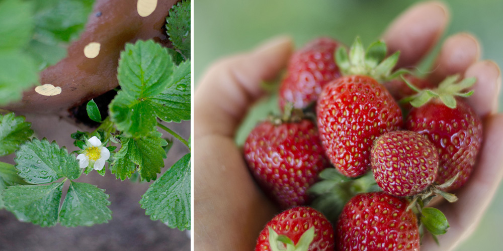 grow strawberries in the backyard